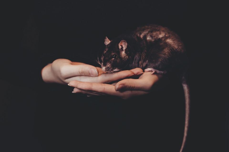 Pest Control, Keep rat free & Disease Free